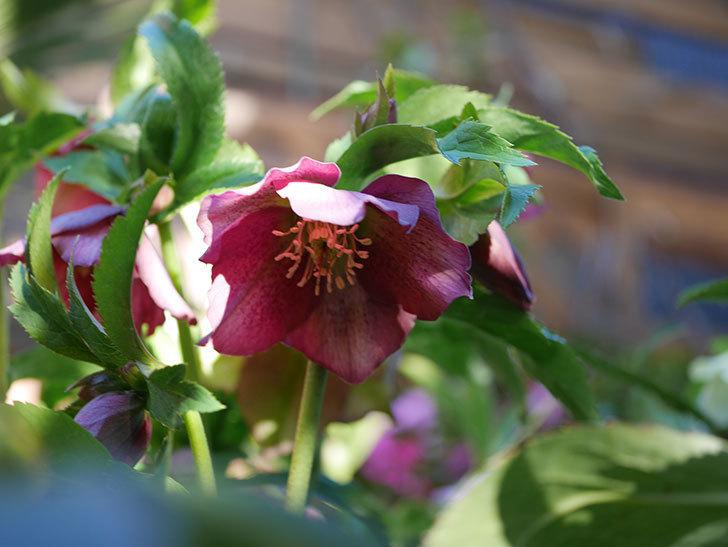 オリエンタリス 紫のシングルの花が更に咲いた。2021年-033.jpg
