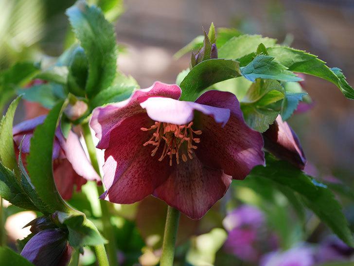 オリエンタリス 紫のシングルの花が更に咲いた。2021年-034.jpg