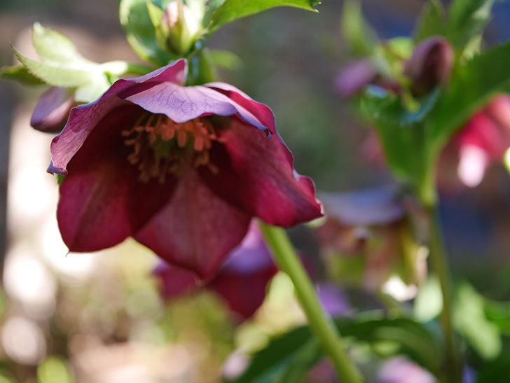 オリエンタリス 紫のシングルの花が更に咲いた。2021年-036.jpg