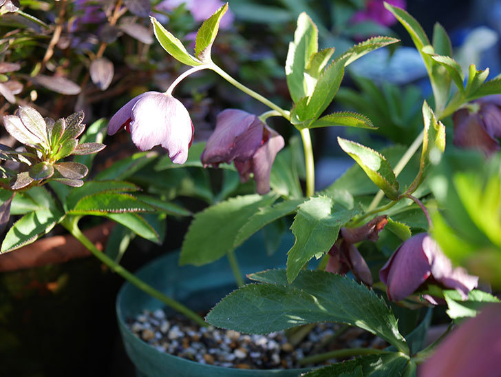 オリエンタリス 紫のシングルの花が更に咲いた。2021年-038.jpg