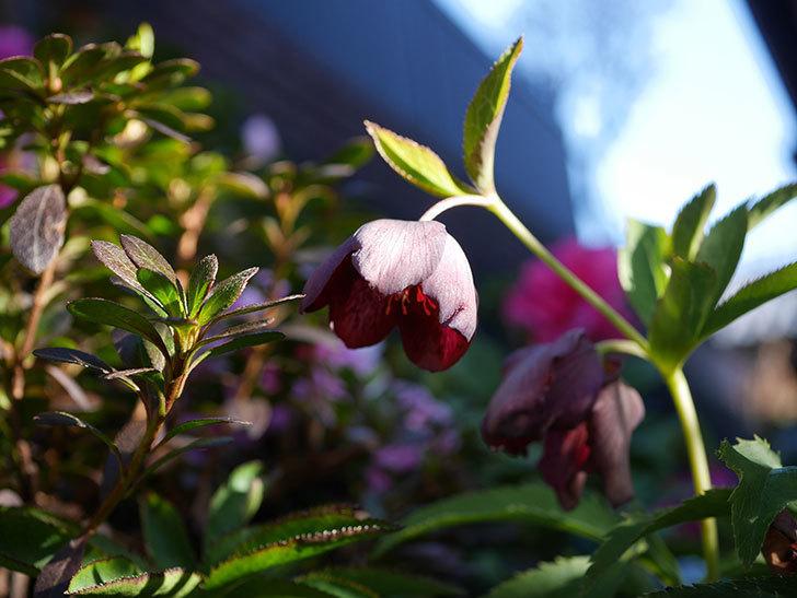 オリエンタリス 紫のシングルの花が更に咲いた。2021年-039.jpg