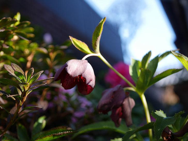 オリエンタリス 紫のシングルの花が更に咲いた。2021年-040.jpg