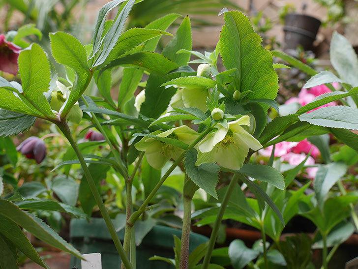 オリエンタリス 黄緑のシングルの花が咲きだした。2021年-002.jpg