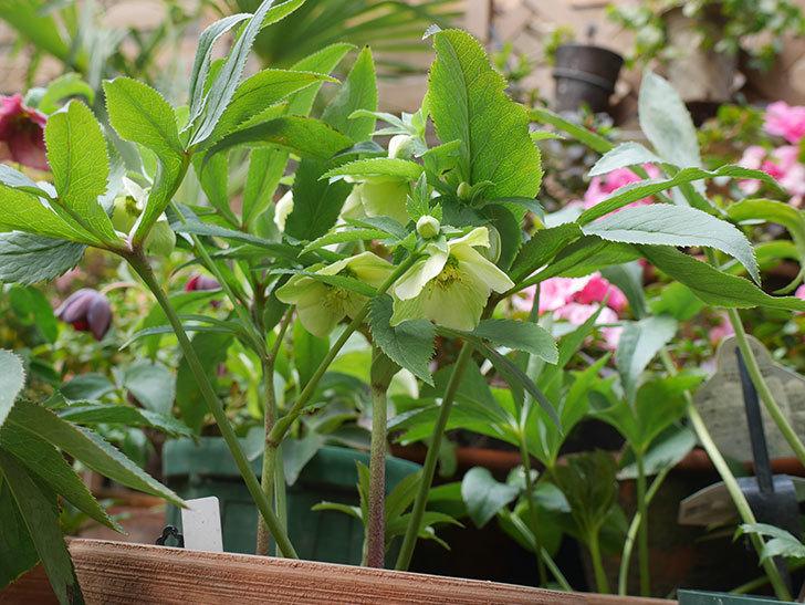 オリエンタリス 黄緑のシングルの花が咲きだした。2021年-004.jpg