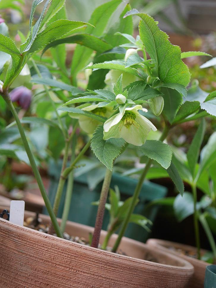 オリエンタリス 黄緑のシングルの花が咲きだした。2021年-008.jpg