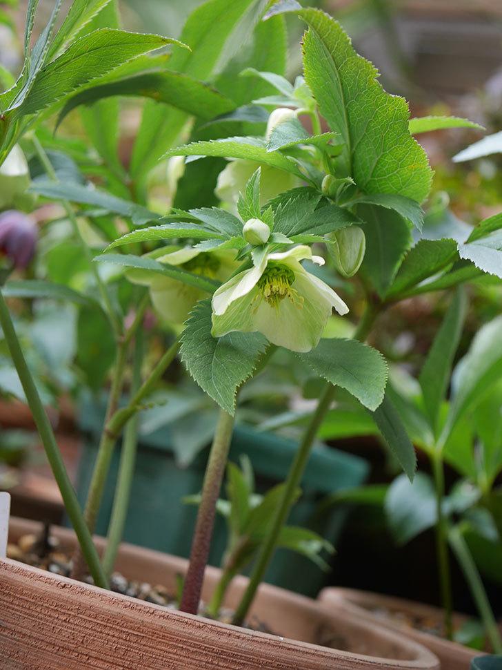 オリエンタリス 黄緑のシングルの花が咲きだした。2021年-009.jpg
