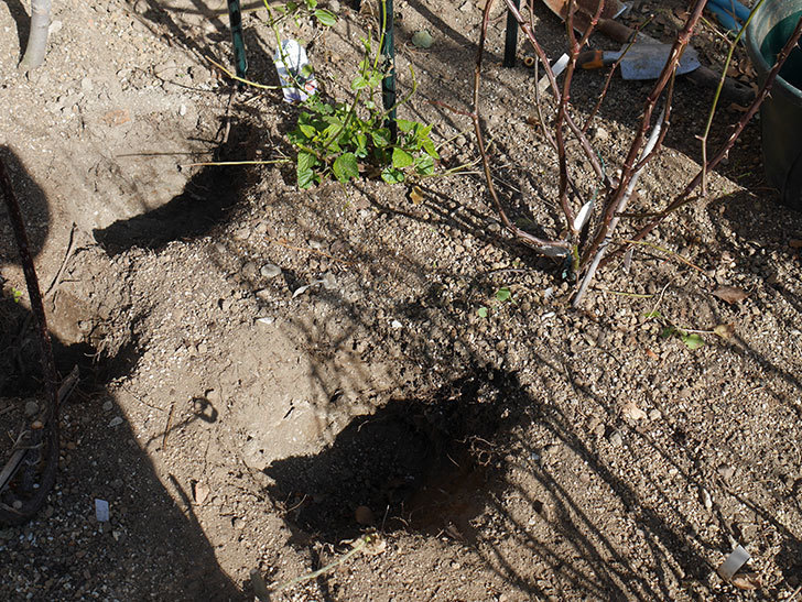 オリビア・ローズ・オースチン(Olivia Rose Austin)に寒肥を施した。半ツルバラ。2021年-011.jpg