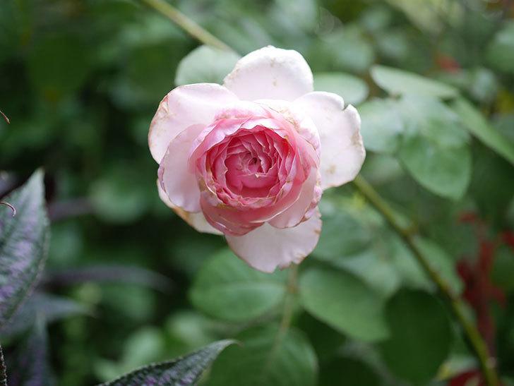 オリビア・ローズ・オースチン(Olivia Rose Austin)の2番花がまた咲いた。2020年-001.jpg