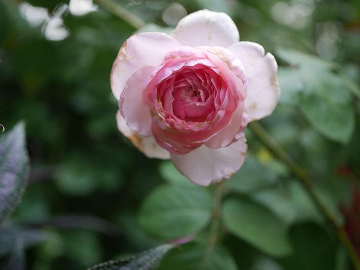 オリビア・ローズ・オースチン(Olivia Rose Austin)の2番花がまた咲いた。2020年-002.jpg