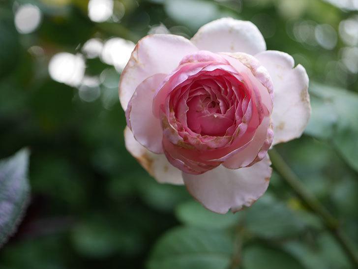 オリビア・ローズ・オースチン(Olivia Rose Austin)の2番花がまた咲いた。2020年-003.jpg