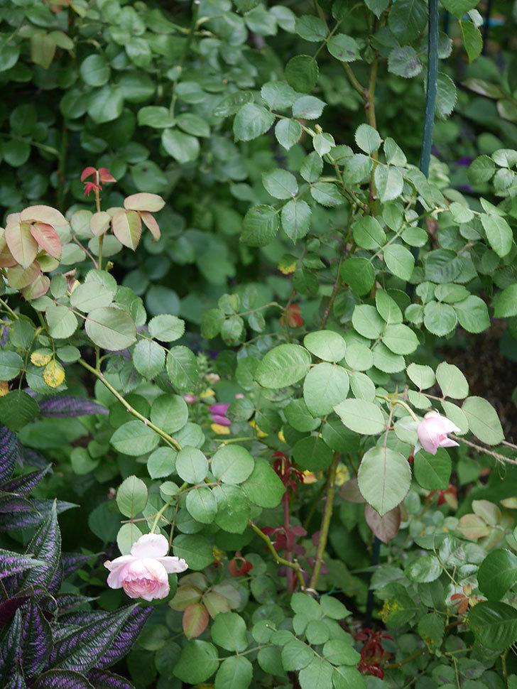 オリビア・ローズ・オースチン(Olivia Rose Austin)の2番花がまた咲いた。2020年-004.jpg