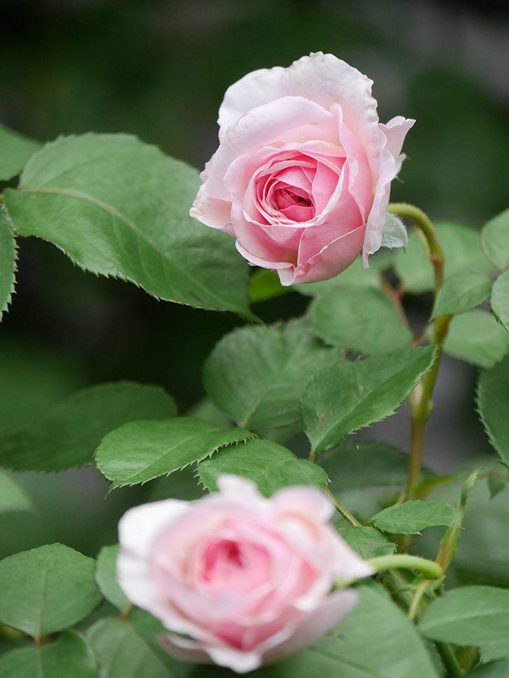 オリビア・ローズ・オースチン(Olivia Rose Austin)の2番花が咲いた。半ツルバラ。2020年-018.jpg