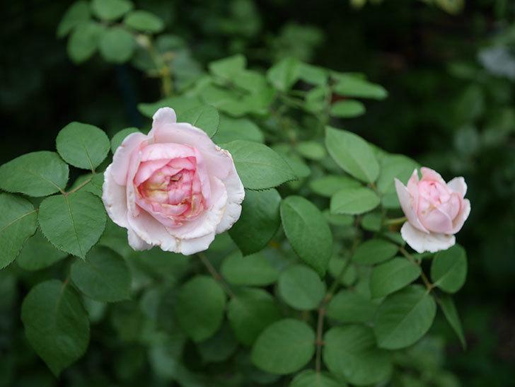 オリビア・ローズ・オースチン(Olivia Rose Austin)の2番花が増えてきた。2020年-002.jpg