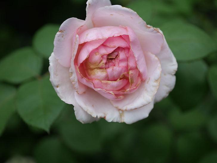 オリビア・ローズ・オースチン(Olivia Rose Austin)の2番花が増えてきた。2020年-003.jpg