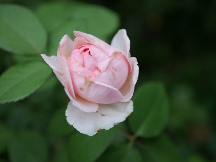 オリビア・ローズ・オースチン(Olivia Rose Austin)の2番花が増えてきた。2020年-004.jpg