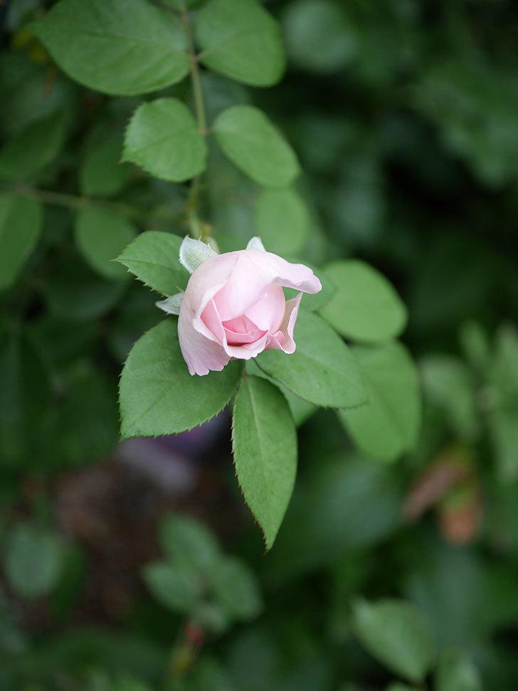 オリビア・ローズ・オースチン(Olivia Rose Austin)の2番花が増えてきた。2020年-005.jpg