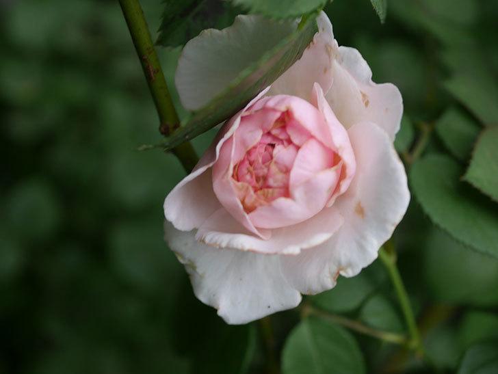 オリビア・ローズ・オースチン(Olivia Rose Austin)の2番花が増えてきた。2020年-006.jpg
