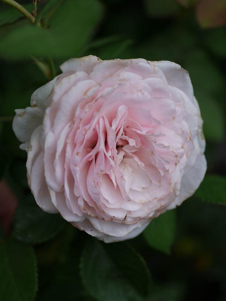 オリビア・ローズ・オースチン(Olivia Rose Austin)の2番花が増えてきた。2020年-007.jpg