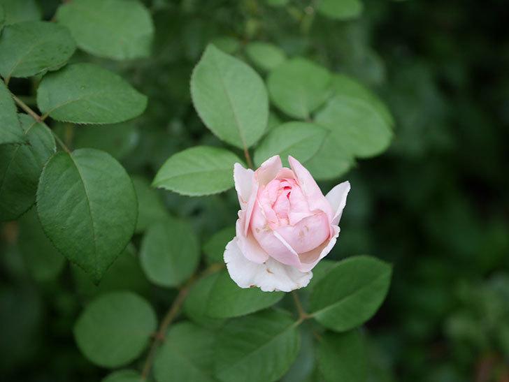 オリビア・ローズ・オースチン(Olivia Rose Austin)の2番花が増えてきた。2020年-008.jpg