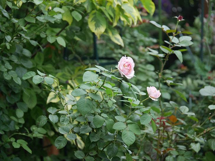 オリビア・ローズ・オースチン(Olivia Rose Austin)の2番花が増えてきた。2020年-009.jpg