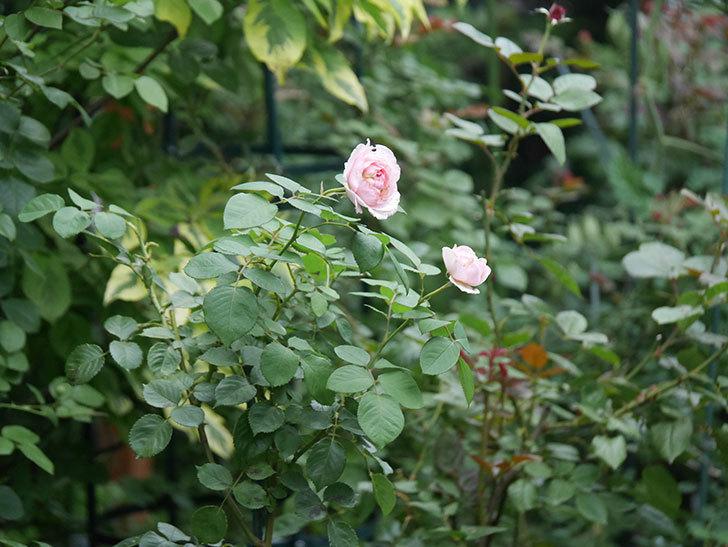 オリビア・ローズ・オースチン(Olivia Rose Austin)の2番花が増えてきた。2020年-010.jpg
