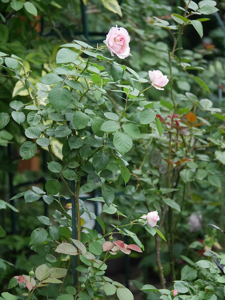 オリビア・ローズ・オースチン(Olivia Rose Austin)の2番花が増えてきた。2020年-011.jpg
