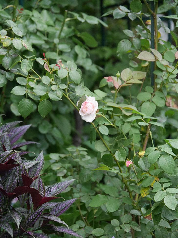 オリビア・ローズ・オースチン(Olivia Rose Austin)の2番花が増えてきた。2020年-012.jpg