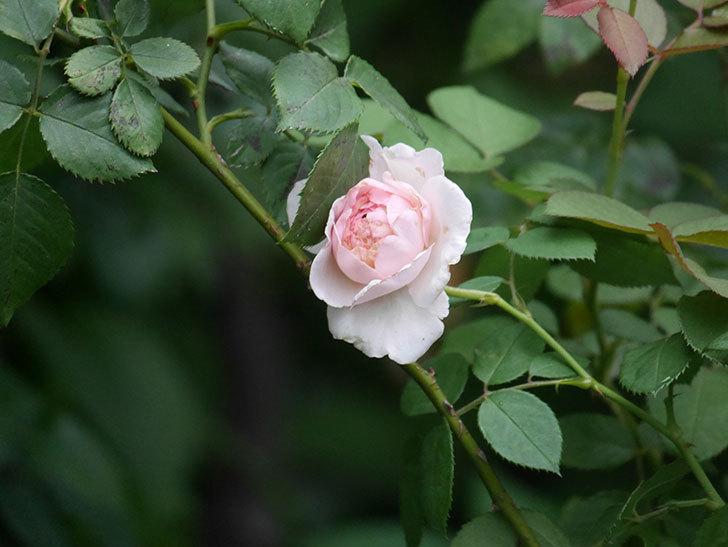 オリビア・ローズ・オースチン(Olivia Rose Austin)の2番花が増えてきた。2020年-013.jpg