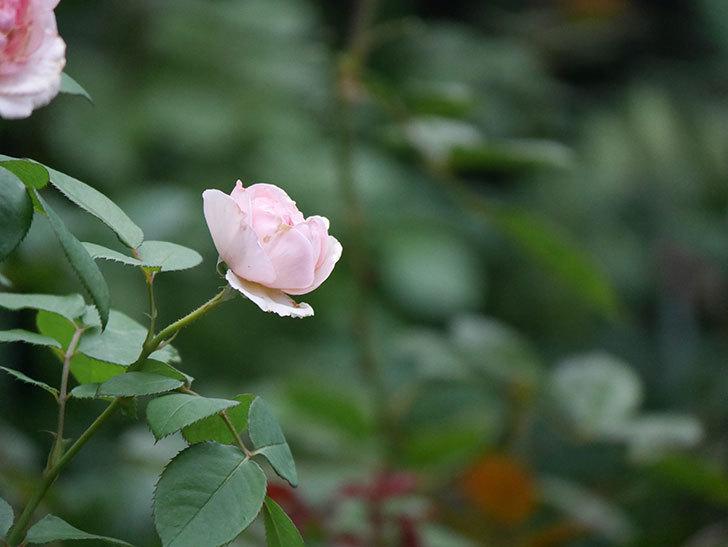 オリビア・ローズ・オースチン(Olivia Rose Austin)の2番花が増えてきた。2020年-016.jpg