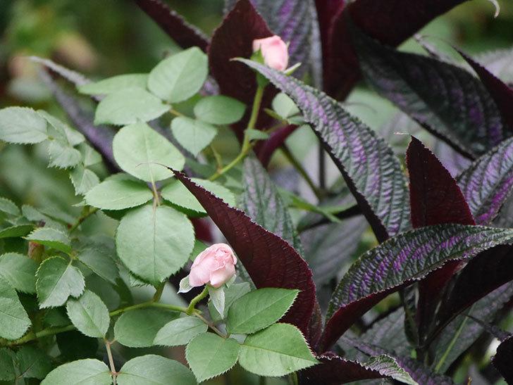 オリビア・ローズ・オースチン(Olivia Rose Austin)の2番花が増えてきた。2020年-017.jpg