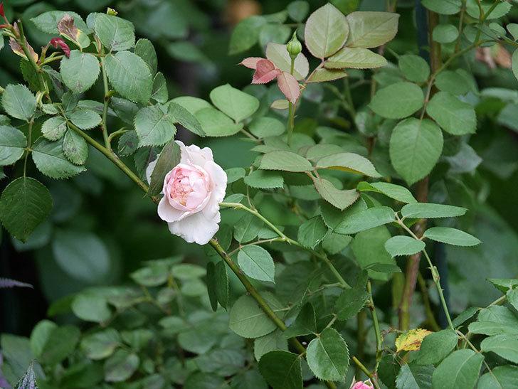 オリビア・ローズ・オースチン(Olivia Rose Austin)の2番花が増えてきた。2020年-018.jpg