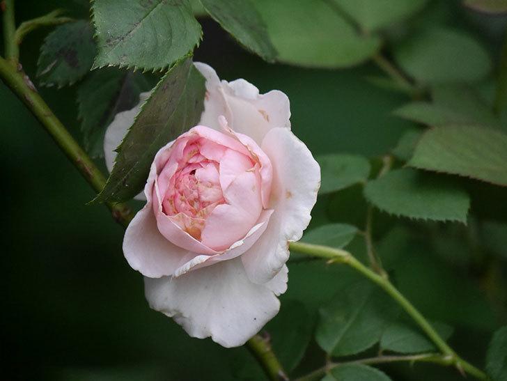 オリビア・ローズ・オースチン(Olivia Rose Austin)の2番花が増えてきた。2020年-019.jpg