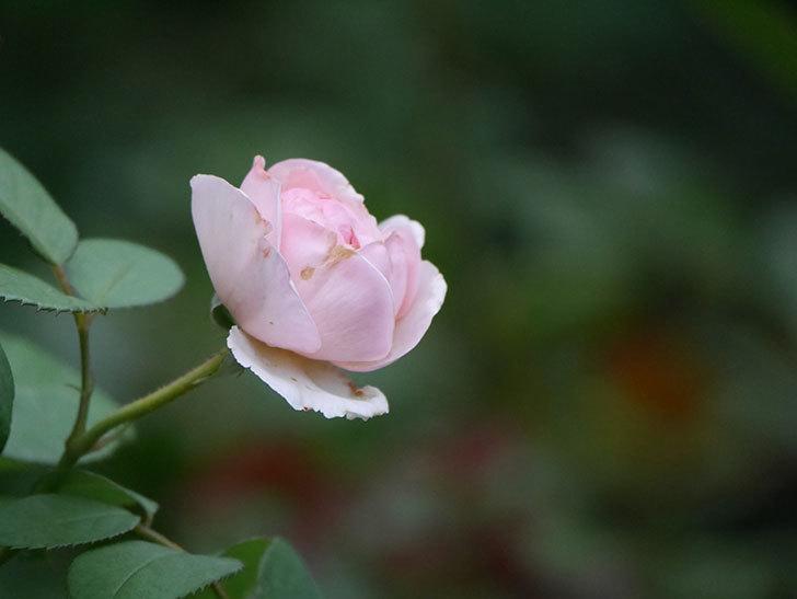 オリビア・ローズ・オースチン(Olivia Rose Austin)の2番花が増えてきた。2020年-020.jpg