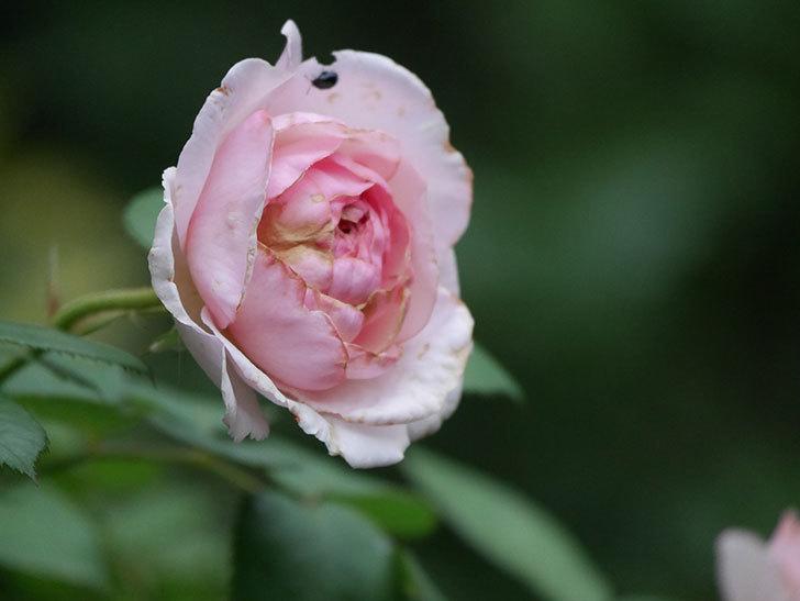 オリビア・ローズ・オースチン(Olivia Rose Austin)の2番花が増えてきた。2020年-021.jpg