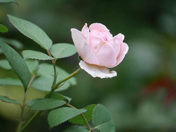 オリビア・ローズ・オースチン(Olivia Rose Austin)の2番花が増えてきた。2020年-023.jpg
