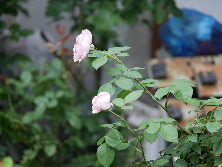 オリビア・ローズ・オースチン(Olivia Rose Austin)の2番花が増えてきた。2020年-025.jpg