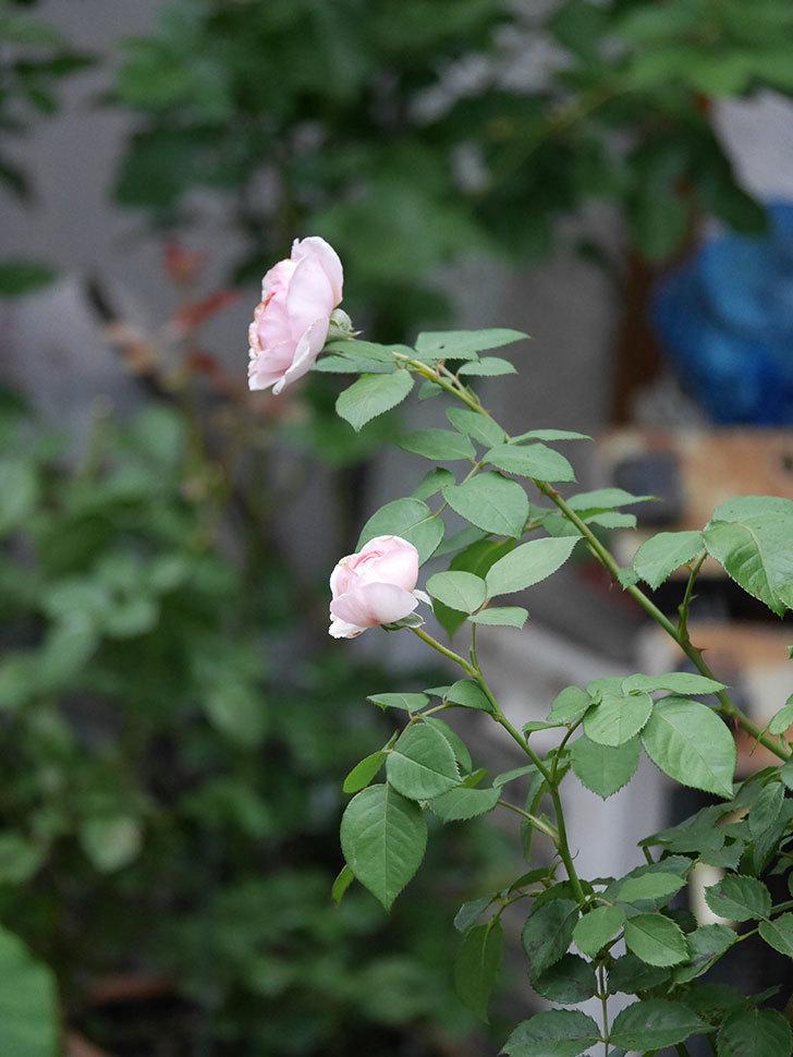 オリビア・ローズ・オースチン(Olivia Rose Austin)の2番花が増えてきた。2020年-027.jpg