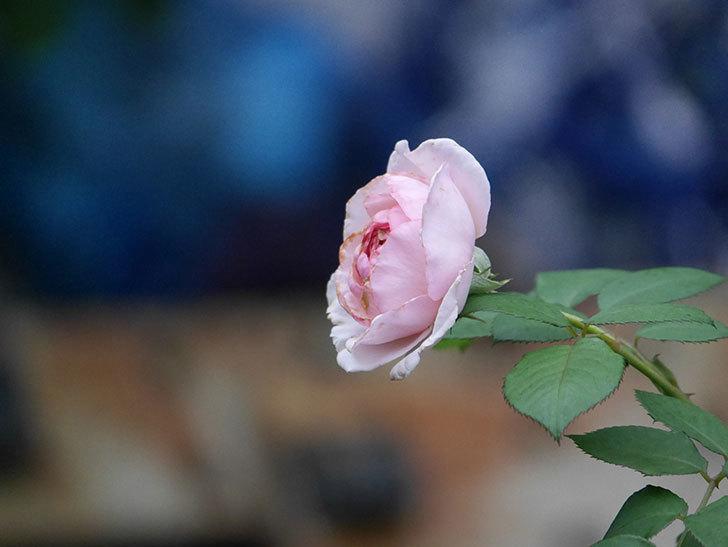 オリビア・ローズ・オースチン(Olivia Rose Austin)の2番花が増えてきた。2020年-029.jpg
