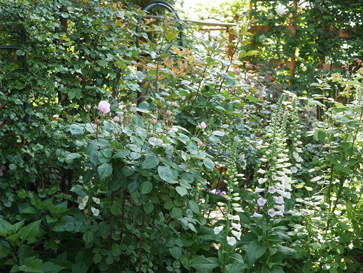 オリビア・ローズ・オースチン(Olivia Rose Austin)の花が咲いた。半ツルバラ。2021年-001.jpg