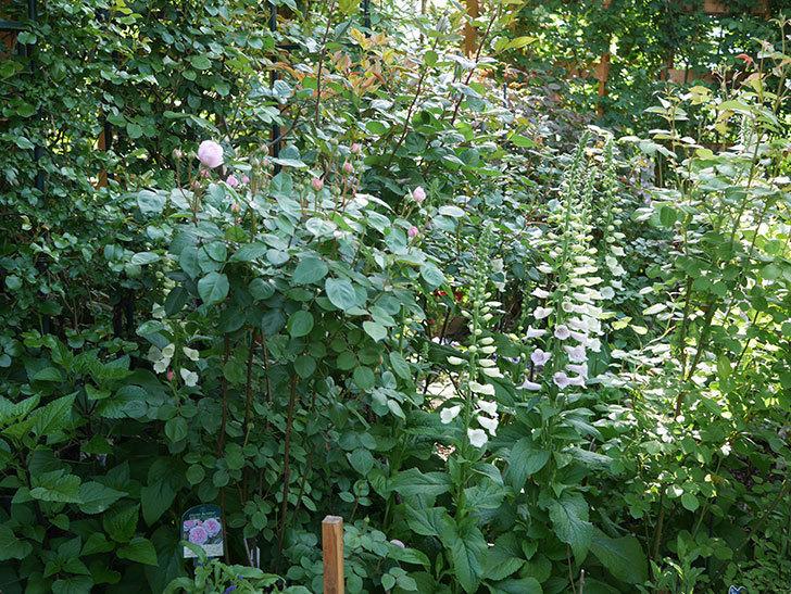 オリビア・ローズ・オースチン(Olivia Rose Austin)の花が咲いた。半ツルバラ。2021年-002.jpg