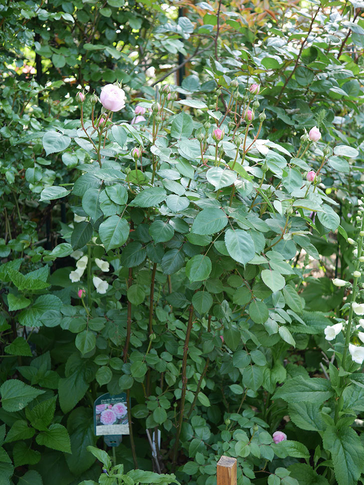 オリビア・ローズ・オースチン(Olivia Rose Austin)の花が咲いた。半ツルバラ。2021年-003.jpg