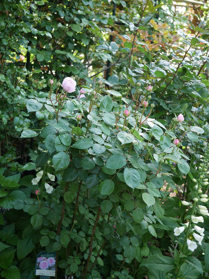 オリビア・ローズ・オースチン(Olivia Rose Austin)の花が咲いた。半ツルバラ。2021年-004.jpg