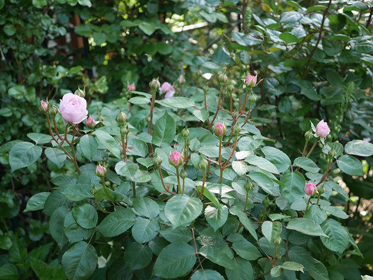 オリビア・ローズ・オースチン(Olivia Rose Austin)の花が咲いた。半ツルバラ。2021年-005.jpg