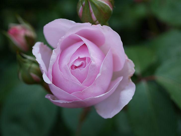 オリビア・ローズ・オースチン(Olivia Rose Austin)の花が咲いた。半ツルバラ。2021年-008.jpg