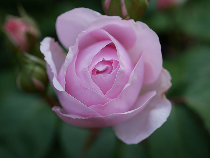 オリビア・ローズ・オースチン(Olivia Rose Austin)の花が咲いた。半ツルバラ。2021年-009.jpg
