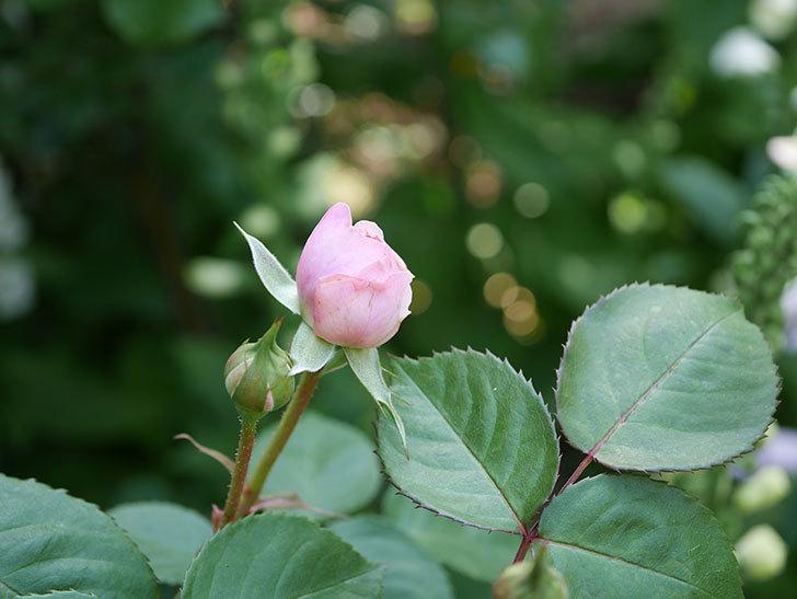 オリビア・ローズ・オースチン(Olivia Rose Austin)の花が咲いた。半ツルバラ。2021年-012.jpg
