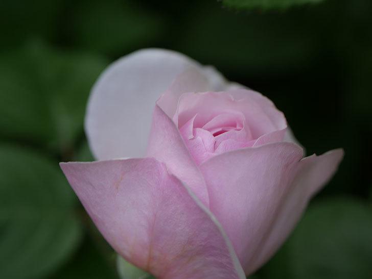オリビア・ローズ・オースチン(Olivia Rose Austin)の花が咲いた。半ツルバラ。2021年-016.jpg