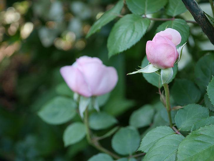 オリビア・ローズ・オースチン(Olivia Rose Austin)の花が咲いた。半ツルバラ。2021年-017.jpg