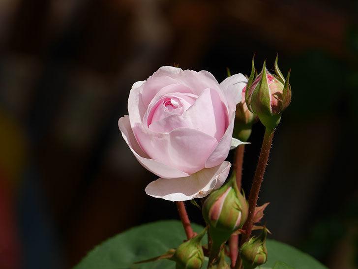 オリビア・ローズ・オースチン(Olivia Rose Austin)の花が咲いた。半ツルバラ。2021年-018.jpg