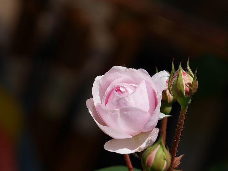 オリビア・ローズ・オースチン(Olivia Rose Austin)の花が咲いた。半ツルバラ。2021年-019.jpg